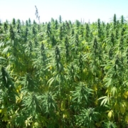 CBD Oil and hemp oil come from the same plant